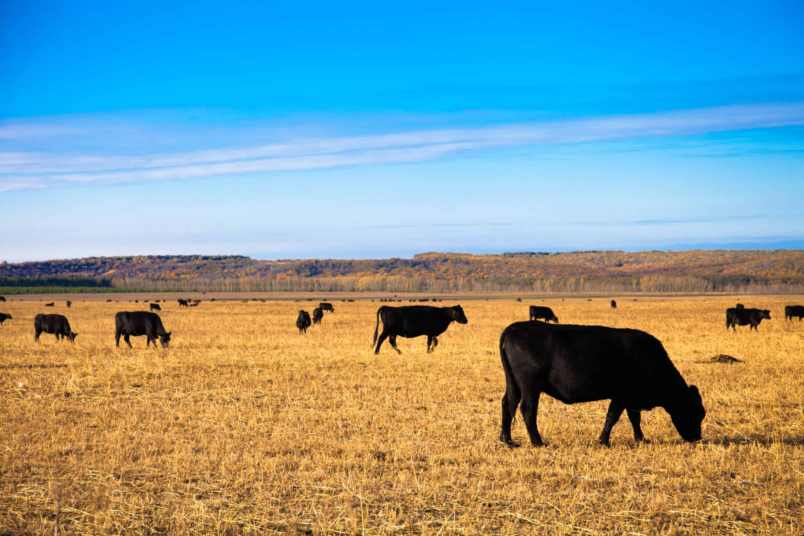 Black Angus Bulls graze on the meadow